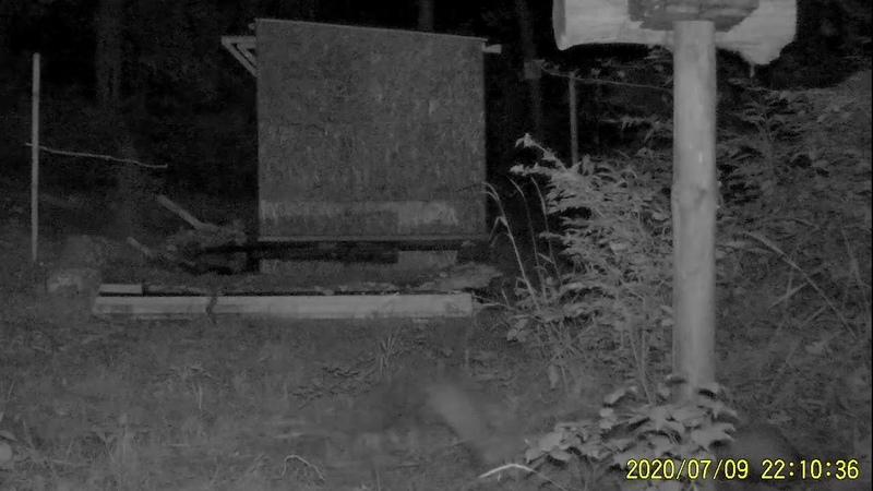 Каменная куница с детёнышами кадры с фотоловушки Beech marten with kids from camera trap