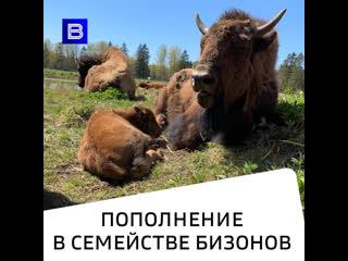 Пополнение в семействе бизонов