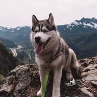 Собаки Аляски. (Хаски, Лайки, Самоеды, Маламуты)