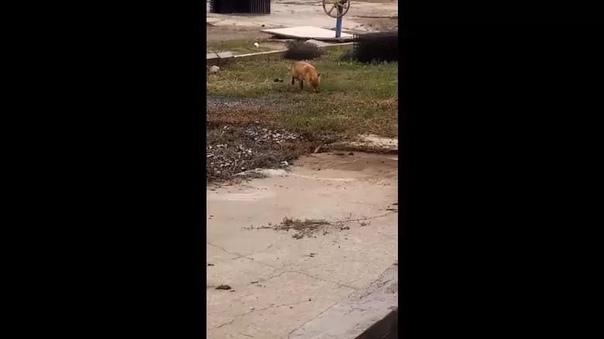 В Тольятти на один из заводов города прибежала лис...