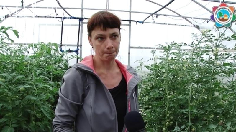 Специалисты лаборатории северного овощеводства дадут советы по выращиванию томатов