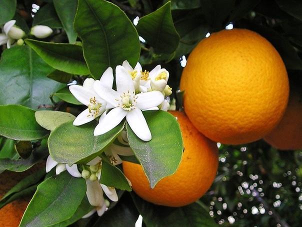 Как дома вырастить апельсин