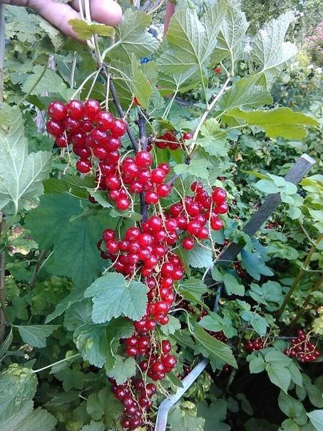 КРАСНАЯ СМОРОДИНА: Все секреты выращивания. Красная смородина входит в пятерку самых популярных садовых кустарников. И это совершенно справедливо, ведь помимо приятного освежающего вкуса ягоды