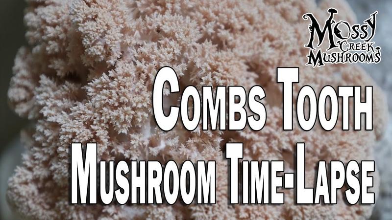 Combstooth Mossy Creek Mushrooms