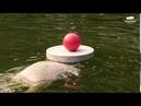 Eisbärin Hertha zeigt ihre Ballkünste im Tierpark Berlin - Polar bear Hertha shows her ball skills