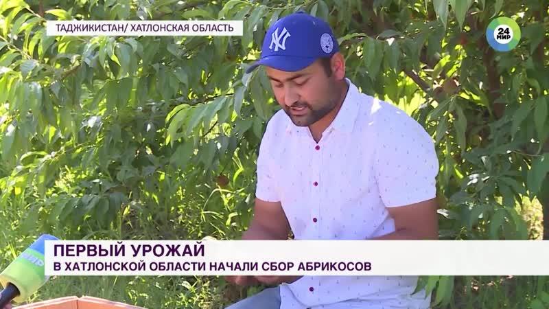 Первый урожай абрикосов в Таджикистане