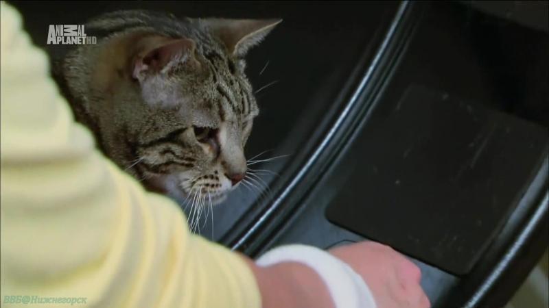 «Адская кошка (28). Би ненавидит СиСи» (Реальное ТВ, животные, фелинология, 2013)