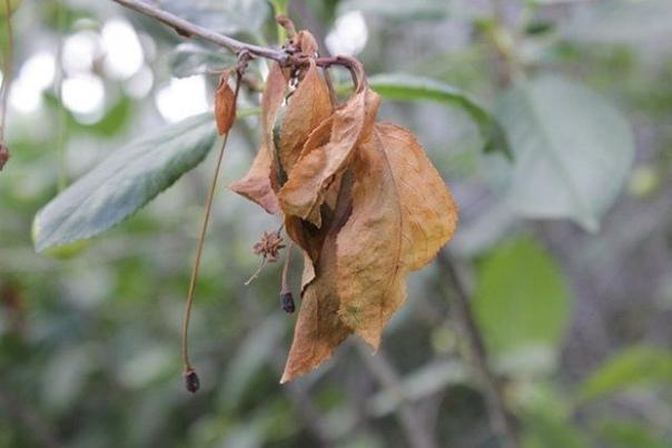 Монилиальный ожог вишни и черешни: как распознать и бороться