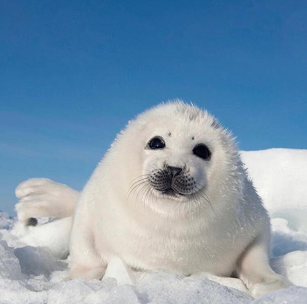 самом фото гренландского тюленя лечение является