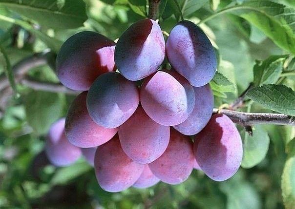 Удобряем косточковые деревья  вишню, сливу и черешню