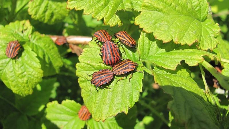 Натуральное средство от муравьев и других насекомых вредителей