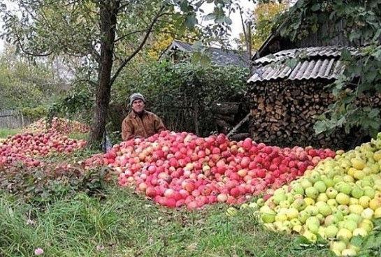 То пусто, то густо! В этом году яблони порадовали многих садоводов!