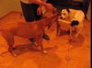 Домашние игры Сегодня исполнилось ровно 7 лет как мы взяли из Шереметьевского приюта питбулечку Берту самую лучшую собаку в м
