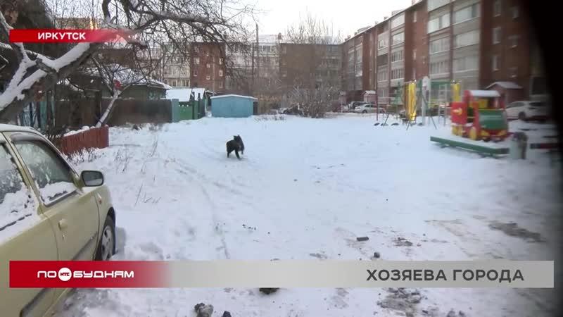 Бездомные собаки держат в страхе жителей Иркутска и других городов региона