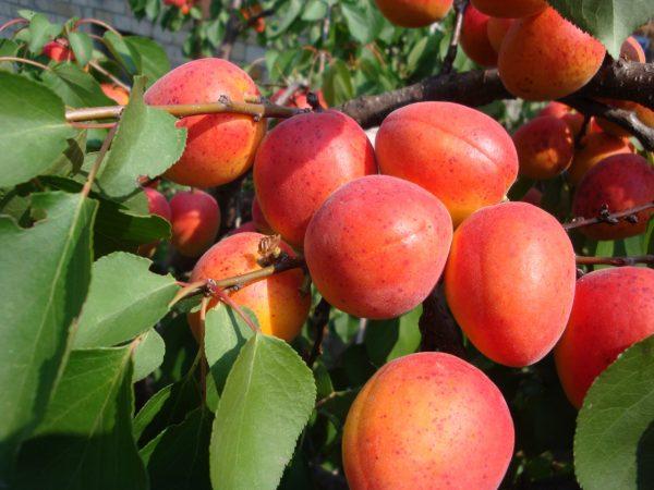 Абрикос краснощекий. Почему нужно садить именно этот сорт в саду Такой сорт абрикоса достаточно популярен среди садоводов. Абрикос краснощекий обладает отличной выносливостью, привлекательным
