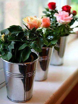 Почему миниатюрная роза часто погибает после покупки