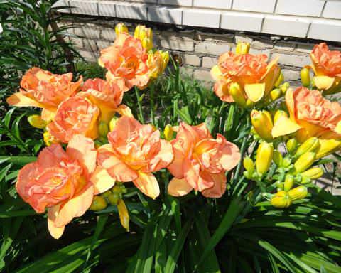 Лилейник Лилейник настолько красив, что непременно станет жемчужиной сада. Каждый шикарный цветок живет лишь один день, многочисленные бутоны распускаются поочередно, поэтому растение будет
